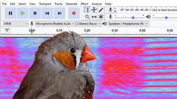 Zebra finch in front of audio soundwave image